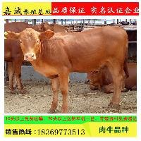 利木赞牛 牛犊 活体 纯种牛苗 三个月养牛利润 提供技术支持