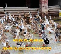 鸡鸭鹅苗供应蛋鸭苗价格青壳蛋鸭苗批发