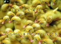 蛋鸭苗批发价格