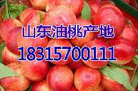 山东油桃批发市场 *油桃批发价格详细报道