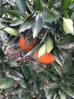 夏橙批发/湖北夏橙/夏橙产地价格