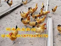 青脚土鸡苗批发黄羽青脚土鸡母苗价格青细脚土鸡苗供应