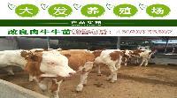 400斤西门塔尔牛犊价格