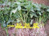 紫红薯苗一颗5角