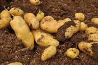 土豆批發電話是多少