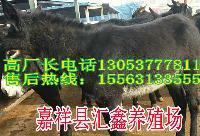 肉狗养殖母牛