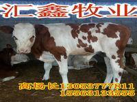 蛟河市场架子牛多少钱鲁西黄牛