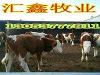 鲁西黄牛出肉率小公牛