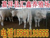 夏洛莱牛多少钱一头利木赞牛