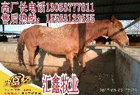小牛苗价格架子牛