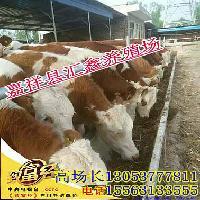 肉牛种牛犊牛犊子
