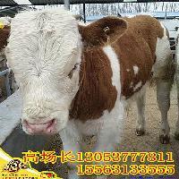 如何挑选西门塔尔牛犊母牛