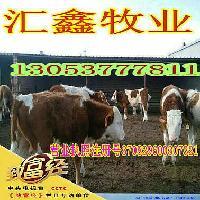 肉牛养殖技术肉牛犊母牛