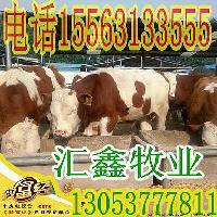 西门塔尔牛种牛肉牛犊