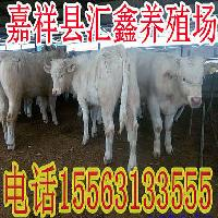 肉牛犊母牛
