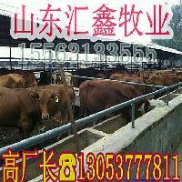 改良肉牛犊价格利木赞牛