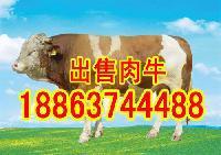 山东大型肉牛养殖场联系电话