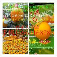莘县东方蜜1号甜瓜洋香瓜大量上市