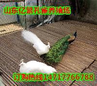 哪里有大型孔雀养殖场 出售商品蓝孔雀标本白孔雀