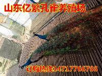 什么地方有出售白孔雀的 孔雀养殖