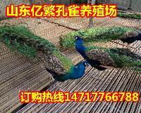 在哪可以买到孔雀  孔雀多少钱一只