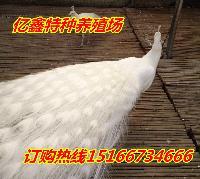 孔雀的价格白孔雀哪里有卖的
