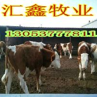 山东省西门塔尔架子牛厂家批发价格
