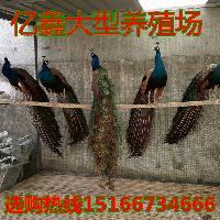 哪里有卖白孔雀的 孔雀的价格白孔雀多少钱一只