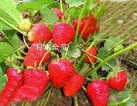 果园出售四季红树莓苗、草莓苗、红颜草莓苗、99草莓苗等果苗