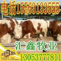 新疆维吾尔自治区西门塔尔牛架子牛价格