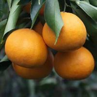 晴好若依 象山四大精品柑橘之一  晴姬柑橘苗、果树苗