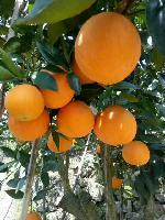 秭归脐橙代办 秭归脐橙批发供应