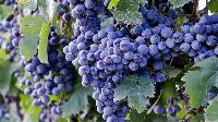 葡萄醋粉 供应 厂家直销 现货包邮 基地种植