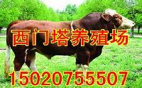 河南肉牛养殖场