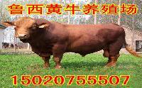 重庆肉牛养殖基地