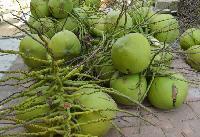 海南特产椰子