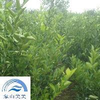 果大优质,早结丰产,象山春香桔柚柑橘苗、蜜桔苗