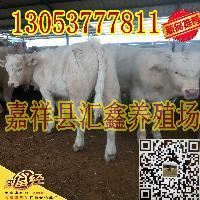 養肉牛基地夏洛萊牛犢價格表