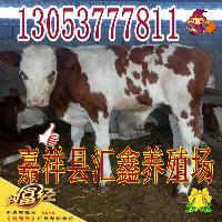 山东鲁西黄牛价格肉牛犊
