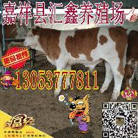 肉牛牛犊价格鲁西黄牛