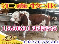 純種西門塔爾牛牛犢西門塔爾肉牛生長周期