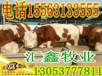 贵阳鲁西黄牛种牛6