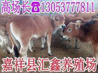 西门塔尔牛及牛犊母牛
