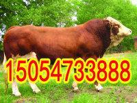 山东鲁西黄牛养殖场
