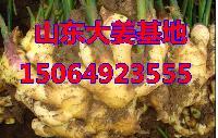 山东生姜批发价格,优质大姜产地,今日生姜价格低于1元