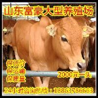 一头鲁西黄牛价格去哪里买牛