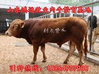 夏洛莱肉牛犊价格
