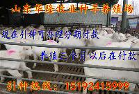育肥肉羊羊苗价格