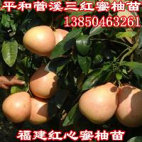 红皮柚子树苗培育基地【满园丰苗木】