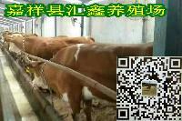 纯种进口西门塔尔图片牛犊